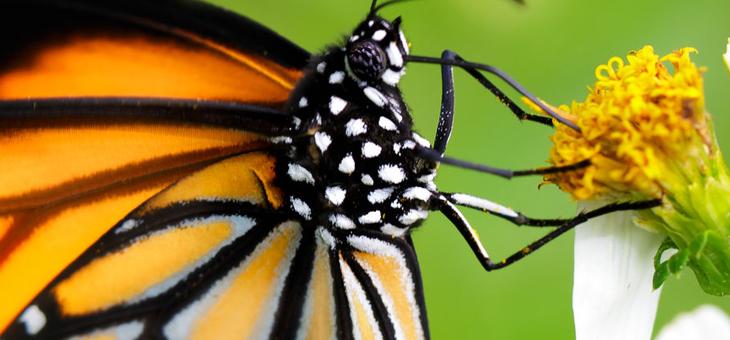 In cerca di farfalle in Oltrepò: si può!